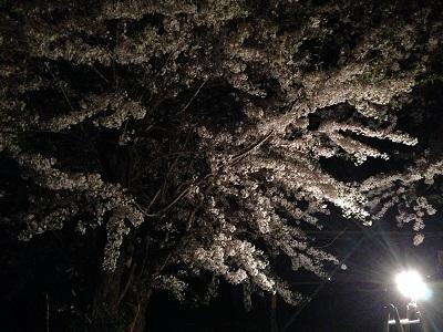 14.05.01-今年の桜6